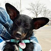 Adopt A Pet :: Chico - Independence, MO