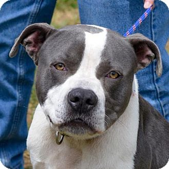 American Pit Bull Terrier Mix Dog for adoption in Waynesville, North Carolina - Blue