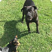 Adopt A Pet :: Hoss - Acworth, GA