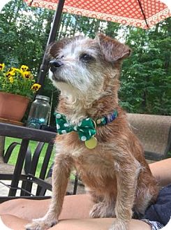 Terrier (Unknown Type, Small) Mix Dog for adoption in Brattleboro, Vermont - Tinker