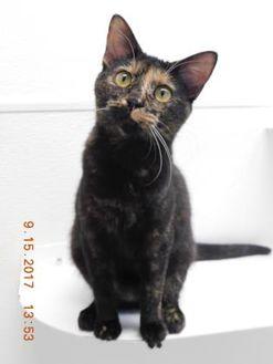 Domestic Shorthair/Domestic Shorthair Mix Cat for adoption in Owensboro, Kentucky - Pita
