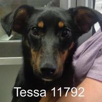 Adopt A Pet :: Tessa - Manassas, VA