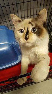 Domestic Shorthair Cat for adoption in Detroit Lakes, Minnesota - Tuna