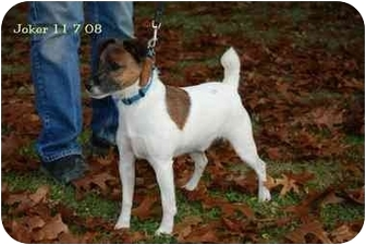 Jack Russell Terrier Mix Dog for adoption in Rhinebeck, New York - Joker