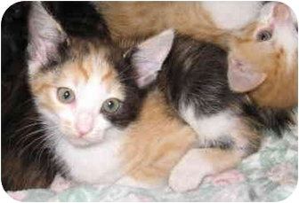 Calico Kitten for adoption in North Highlands, California - Morraine