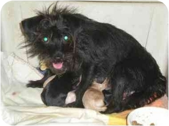 Yorkie, Yorkshire Terrier/Chihuahua Mix Puppy for adoption in Aloha, Oregon - Yorkie Mix pups