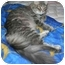 Photo 2 - Domestic Longhair Cat for adoption in Montreal, Quebec - Melany