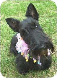 Scottie, Scottish Terrier Mix Dog for adoption in El Cajon, California - SCOTTIE
