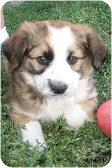 Australian Shepherd/Border Collie Mix Puppy for adoption in Republic, Washington - Frans