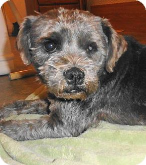 Schnauzer (Standard) Mix Dog for adoption in Des Plaines, Illinois - Henry