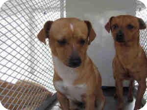 Dachshund/Chihuahua Mix Dog for adoption in Las Vegas, Nevada - Gus -N
