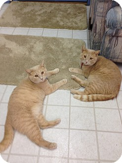 Domestic Shorthair Cat for adoption in Aiken, South Carolina - Pumpkin & Spice