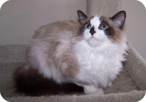 Ragdoll Cat for adoption in Colorado Springs, Colorado - Andy