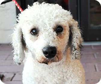 Poodle (Miniature)/Dandie Dinmont Terrier Mix Dog for adoption in Encino, California - Ralph