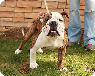 English Bulldog Dog for adoption in Lancaster, Ohio - Pippa