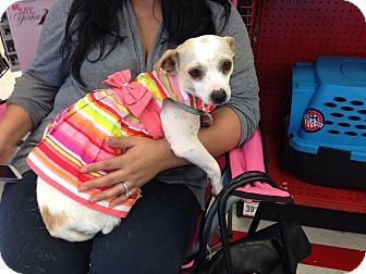 Parson Russell Terrier/Chihuahua Mix Dog for adoption in Brea, California - Katie