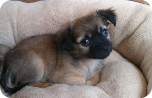 Shih Tzu/Spaniel (Unknown Type) Mix Puppy for adoption in Tustin, California - Buttercup