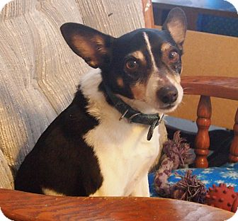 Fox Terrier (Toy) Dog for adoption in Prole, Iowa - Buddy
