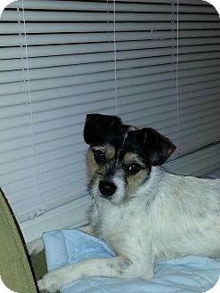 Jack Russell Terrier Mix Dog for adoption in Rocky Mount, North Carolina - Oliver
