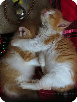 Domestic Mediumhair Kitten for adoption in Middletown, New York - Oliver &Felix