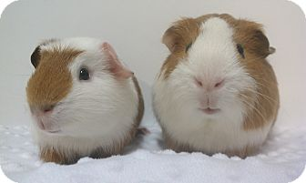 Guinea Pig for adoption in Aurora, Colorado - Webster & Squirt