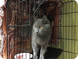 Domestic Shorthair Cat for adoption in Hamilton, New Jersey - GRAYSON - 2015