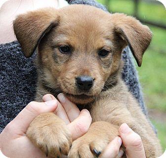 German Shepherd Dog Mix Puppy for adoption in Chicago, Illinois - HAZEL - sweetie pie