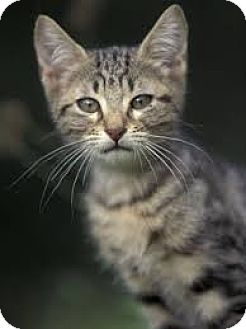 Domestic Shorthair Kitten for adoption in Arlington, Virginia - Desoto (& Jamie)