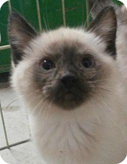 Siamese Kitten for adoption in Colfax, Iowa - Reece