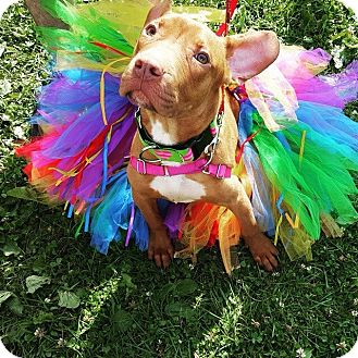 Pit Bull Terrier Mix Puppy for adoption in Chicago, Illinois - Duncan