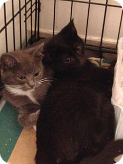 Domestic Shorthair Kitten for adoption in Wayne, New Jersey - Skywalker