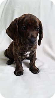 Basset Hound Mix Puppy for adoption in Cincinnati, Ohio - Duke