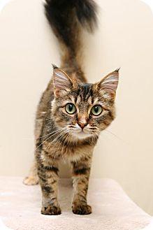 Domestic Shorthair Cat for adoption in Bellingham, Washington - Reema