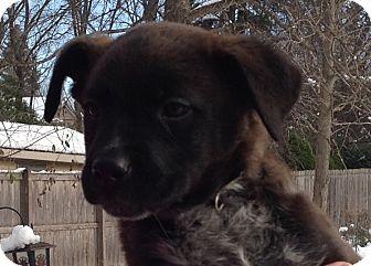 Labrador Retriever/Boxer Mix Puppy for adoption in Palatine, Illinois - Hershey