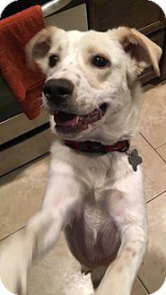 Labrador Retriever/Spaniel (Unknown Type) Mix Dog for adoption in West Hartford, Connecticut - Lola