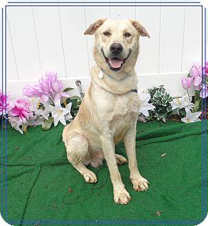 Labrador Retriever Mix Dog for adoption in Marietta, Georgia - HUEY (R)