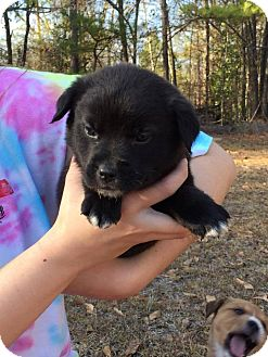 Golden Retriever/Shepherd (Unknown Type) Mix Puppy for adoption in Sturbridge, Massachusetts - Chino