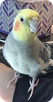 Cockatiel for adoption in Watauga, Texas - Tweet