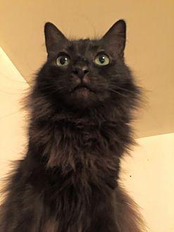 Turkish Angora Cat for adoption in Los Angeles, California - Moonlight
