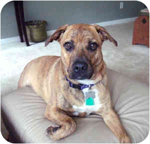 Boxer Mix Dog for adoption in Cincinnati, Ohio - Gracie Mae