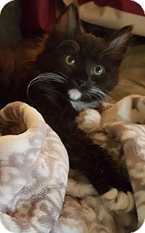 Domestic Shorthair Kitten for adoption in Fairfax, Virginia - Theodore Roosevelt (Teddy)