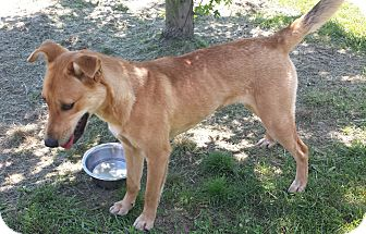 Shepherd (Unknown Type) Mix Dog for adoption in Plainfield, Illinois - Bella