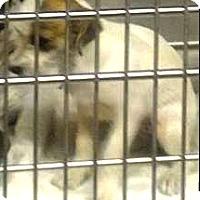 Adopt A Pet :: Hallie - Boulder, CO