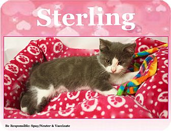 Domestic Shorthair Kitten for adoption in Cuba, Missouri - Sterling
