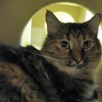 Adopt A Pet :: Triscuit - Chandler, AZ