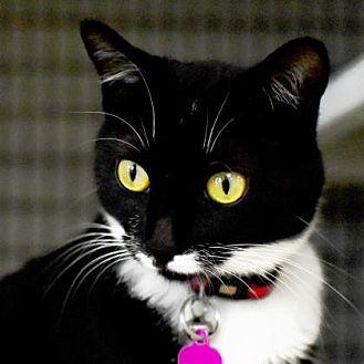 Domestic Shorthair Cat for adoption in Denver, Colorado - Catalina