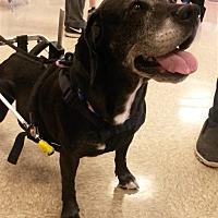 Labrador Retriever Mix Dog for adoption in Fairfax Station, Virginia - Lidia