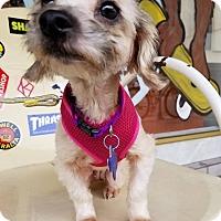 Adopt A Pet :: Sicily - Danbury, CT