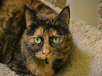 Domestic Mediumhair Cat for adoption in Rancho Cucamonga, California - BLOSSOM