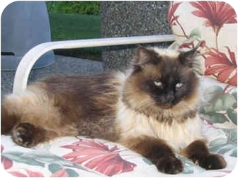 Himalayan Cat for adoption in Steilacoom, Washington - Nick